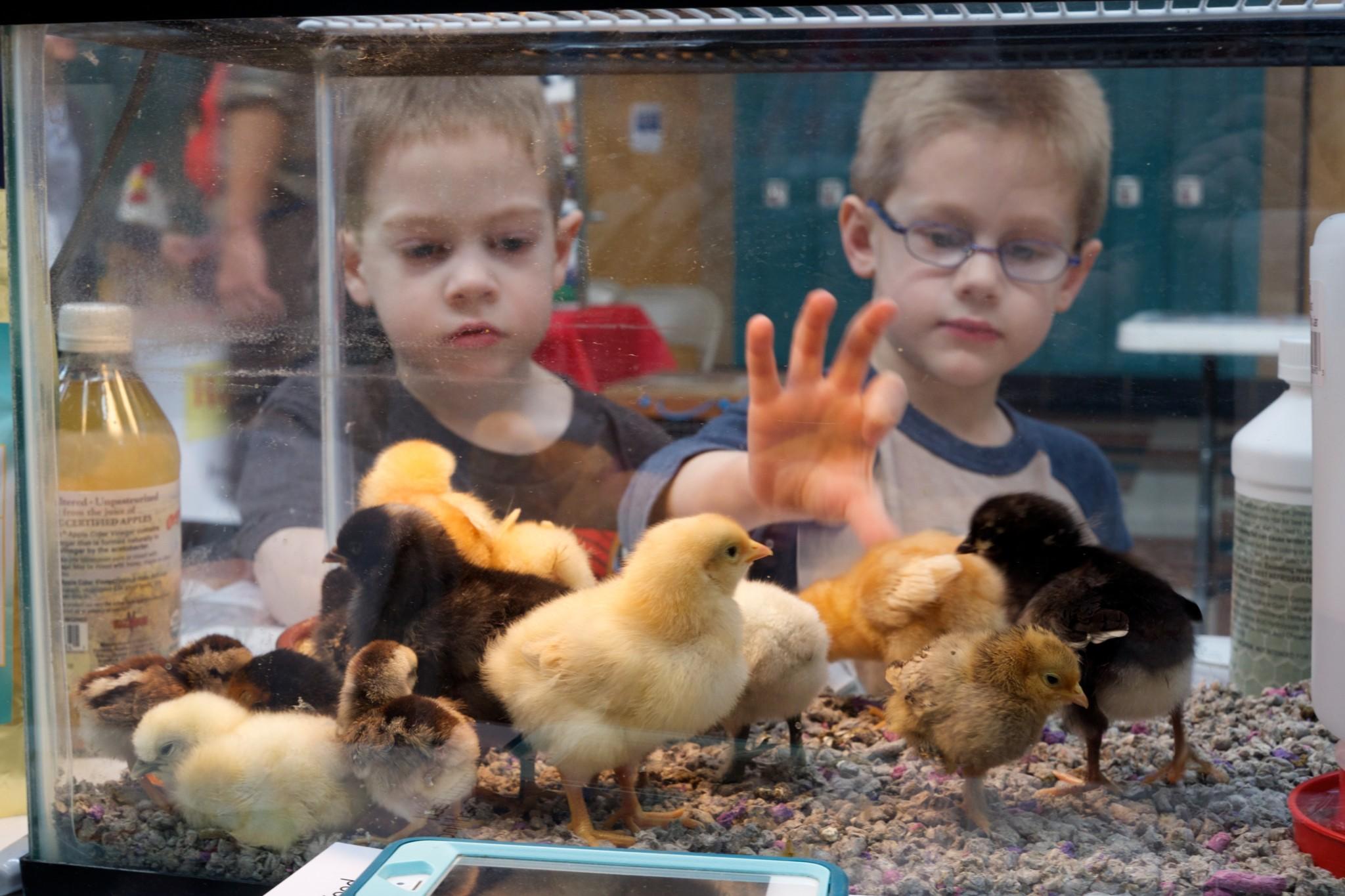 Kristen Hollinden's sons look in on a group of chicks huddling below a heat lamp. (Benjamin Unger)
